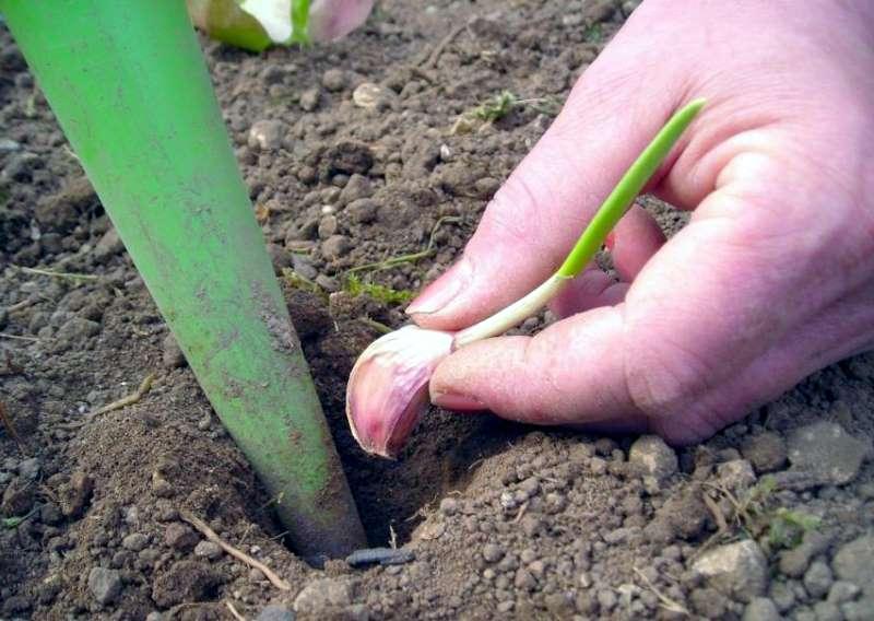 Plant gousse ail