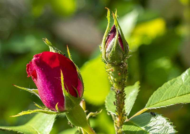 Répulsifs vio pucerons rosiers