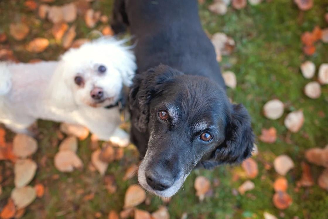 Vieux chiens âgé - anti ageing