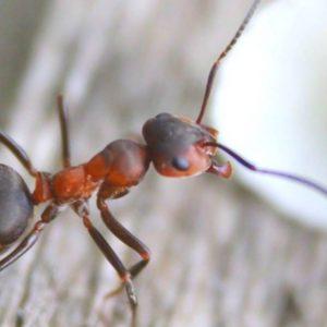anti fourmis insecticide répulsif