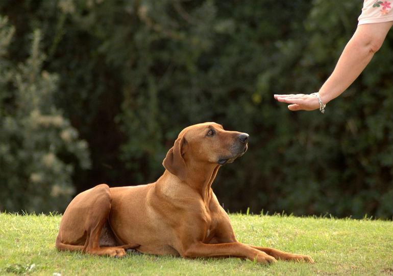 comment dresser un chien
