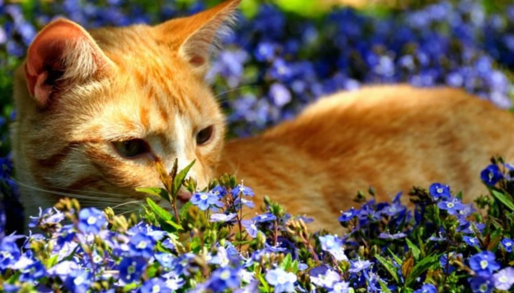 geranium anti chat repulsif